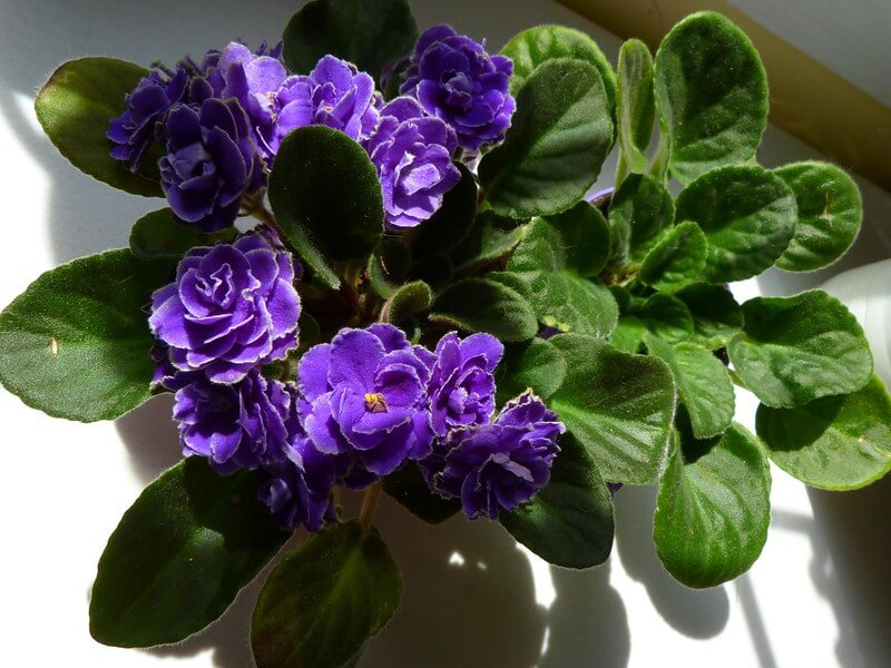 african violet houseplants safe for cats