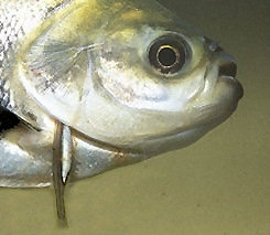 A candirú attached to a host fish