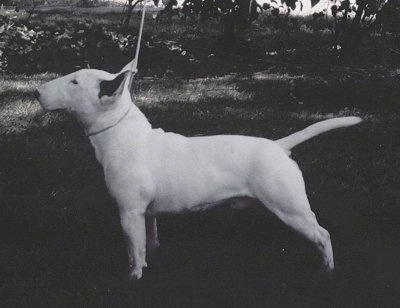 Right Profile - Black and white picture of a white Bull Terrier posing in a show stack