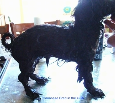 A Wet Havanese that is standing on a table