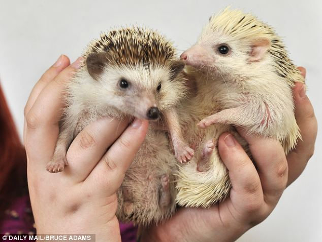The African Pygmy Hedgehog Club, which promotes responsible ownership of hedgehogs in the UK, recommends keeping them in a large vivarium or glass tank