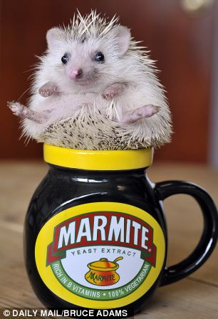 Three-month-old African pygmiy hedgehog Finn, posing in a cup at owner Emma Crossan