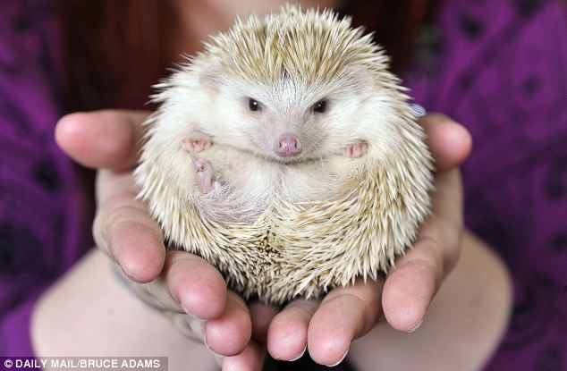 The type most people buy as pets, the African Pygmy, is a cross between the White-bellied hedgehog, native to central and eastern Africa, and the Algerian hedgehog