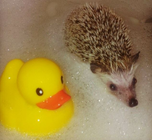 Norman, pictured, has become an internet sensation after his owner posted photographs of the hedgehog skateboarding and taking a bath