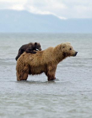 Golden opportunity: As the mother bear was concentrating on her meal the youngster became a distraction