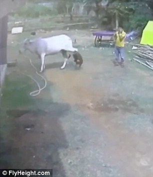 Surprised by the toddler the cow kicks out, tossing the boy backwards through the air