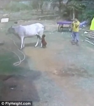 A dad allows his young son to walk right up behind a cow in India