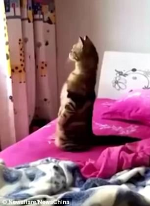 The pet cat stood on its  hind legs while gazing out of the window from its owner
