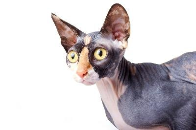 Several breeds of hairless cats don