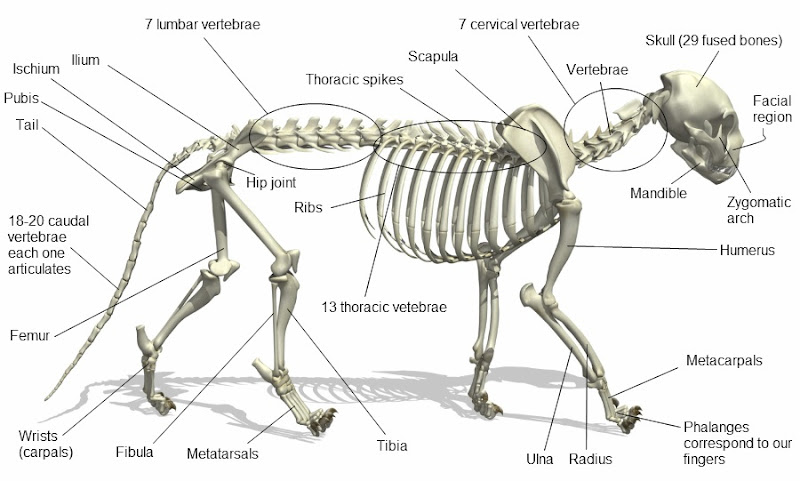 cat skeleton and text