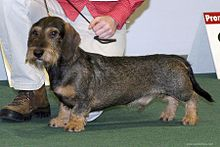 Smooth Dachshund Portrait.jpg