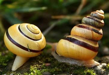 Scalariform snail