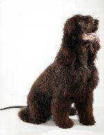 Ирландская водяная собака – Описание породы собак Ирландский водяной спаниель с отзывами и фото