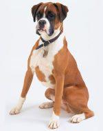 Боксер собака описание породы характер – описание породы, фото, содержание вквартире, чем кормить, дрессировка, цена щенков + отзывы (немецкий боксер)