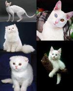 Порода белой кошки – 20 пород, 31 фото, особенности содержания