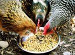 Чем питается курица для детей – Что едят курицы?