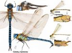 Где ночует стрекоза – Где и как долго живет,чем питается стрекоза, сколько у нее крыльев