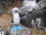 Олуша – описание, размножение, фото, интересные факты