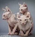 Котенок эльф – фото и видео, цена, описание породы, характер