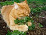 Мята для котов – для чего нужна и как использовать