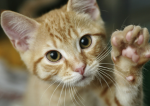 Шестой палец у кошки – Зачем кошкам «отдельная» подушечка на передних лапах