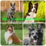 Собаки пастухи – Пастушья овчарка: ТОП — 12 пород собак пастухов с описанием (фото)