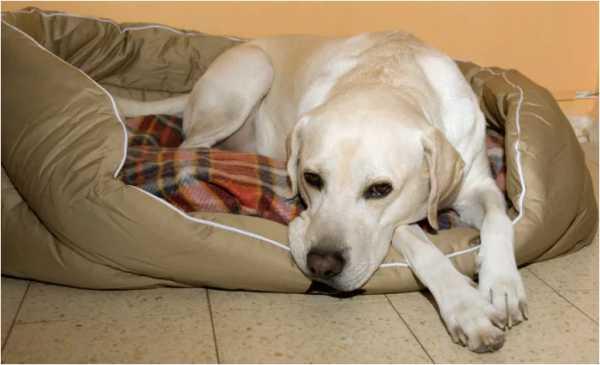 длительность течки у собак